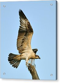 Acrylic Print featuring the photograph Osprey After Flight by Rick Frost