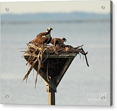 Osprey And Chicks Acrylic Print