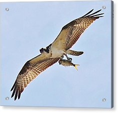 Osprey Carrying His Lunch Acrylic Print by Paulette Thomas