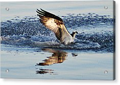 Osprey Crashing The Water Acrylic Print by Bill Cannon