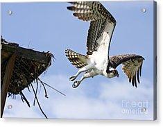 Osprey Flying From Nest Acrylic Print by John Van Decker