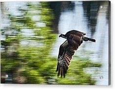 Osprey In Flight Acrylic Print by Frank Feliciano