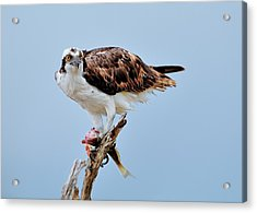 Osprey In The Morning Acrylic Print