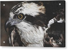 Acrylic Print featuring the photograph Osprey by Lydia Holly