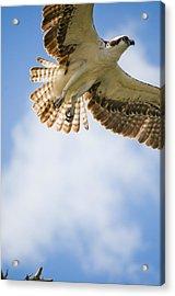 Osprey Acrylic Print by Mike Rivera