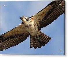 Osprey Acrylic Print by Phil Lanoue