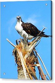 Osprey With Fish Acrylic Print