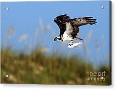 Osprey With Fish Acrylic Print by Rick Mann