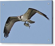 Osprey With The Catch Of The Day Acrylic Print by Paulette Thomas