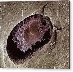 Osteocyte, Sem Acrylic Print by Steve Gschmeissner