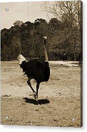 Ostrich Acrylic Print by Pamela Stanford