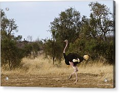 Ostrich Prance Acrylic Print by Marion McCristall