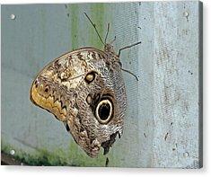 Owl Butterfly Acrylic Print by Tony Murtagh