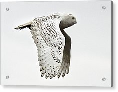 Owl In Flight Acrylic Print by Pierre Leclerc Photography
