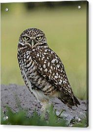 Owl Stare Acrylic Print