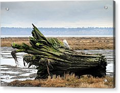 Owls At Boundary Bay Vancouver Acrylic Print by Pierre Leclerc Photography