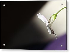 Acrylic Print featuring the photograph Oxalis Bloom by Kume Bryant