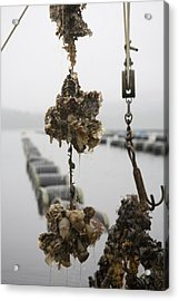 Oysters Pulled Up From A Farm Covered Acrylic Print by Taylor S. Kennedy