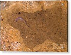 Ozark Blind Cave Salamander Acrylic Print by Dante Fenolio
