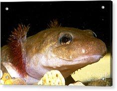 Pacific Giant Salamander Larva Acrylic Print by Dante Fenolio