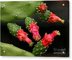 Paddle Cactus Flowers Acrylic Print by Sabrina L Ryan