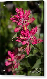 Acrylic Print featuring the photograph Paintbrush Trio by Katie LaSalle-Lowery