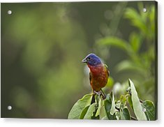 Painted Bunting - 1793 Acrylic Print