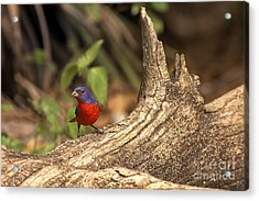 Acrylic Print featuring the photograph Painted Bunting On Log by Anne Rodkin