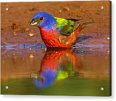 Painted Bunting Reflecting Acrylic Print by Myrna Bradshaw