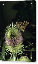 Painted Lady Butterfly Acrylic Print by David Aubrey