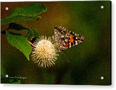 Acrylic Print featuring the photograph Painted Lady Impasto by Travis Burgess