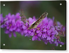 Painted Lady Looking Acrylic Print