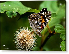 Acrylic Print featuring the photograph Painted Lady On Button Bush by Travis Burgess