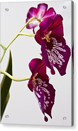 Acrylic Print featuring the photograph Painted  Orchid L by Shirley Mitchell