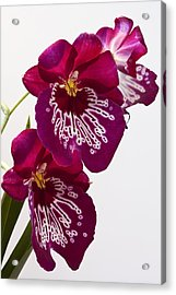 Acrylic Print featuring the photograph Painted Orchid by Shirley Mitchell