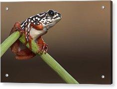 Painted Reed Frog Botswana Acrylic Print by Piotr Naskrecki