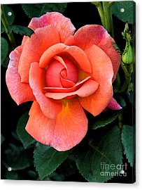 Acrylic Print featuring the photograph Painted Rose by Cindy Manero