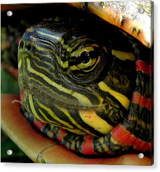 Painted Turtle Acrylic Print by Griffin Harris