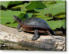 Painted Turtle On Log Acrylic Print