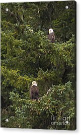 Pair Of Bald Eagles Acrylic Print by Darcy Michaelchuk