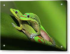 Pair Of Mating Green Geckos Acrylic Print by Pete Orelup