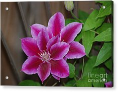Pair Of Pink Clematis Acrylic Print