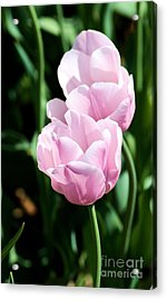 Pair Of Pink Tulips Acrylic Print