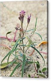 Palafoxia Arida Var. Arida Acrylic Print by Bob Gibbons