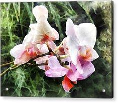Pale Pink Phalaenopsis Orchids Acrylic Print by Susan Savad