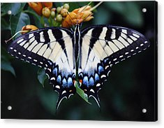 Pale Swallowtail Butterfly-3 Acrylic Print by Barry Jones