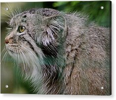Pallas Cat Acrylic Print by Karen Grist