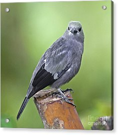 Palm Tanager Acrylic Print