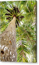 Palm Tree From Below With Coconut Fruit Acrylic Print by Anya Brewley schultheiss