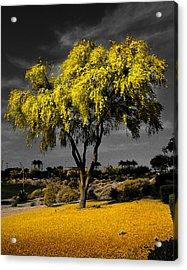 Palo Verde Acrylic Print by Jim Painter